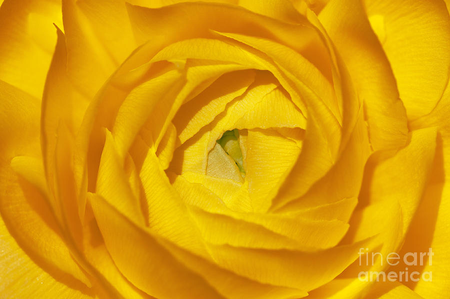 Sandra Bronstein Photograph - Yellow Beauty by Sandra Bronstein