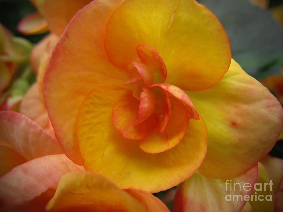 Begonia Photograph - Yellow Begonia by Arlene Carmel