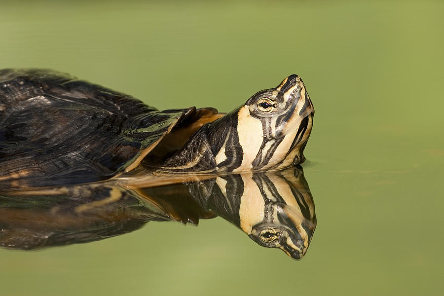 Mp Photograph - Yellow-bellied Slider Trachemys Scripta by Ingo Arndt