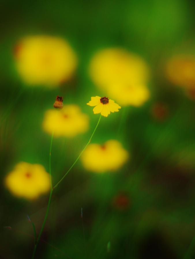Wildflowers Photograph - Yellow Bliss by Lynda Dawson-Youngclaus
