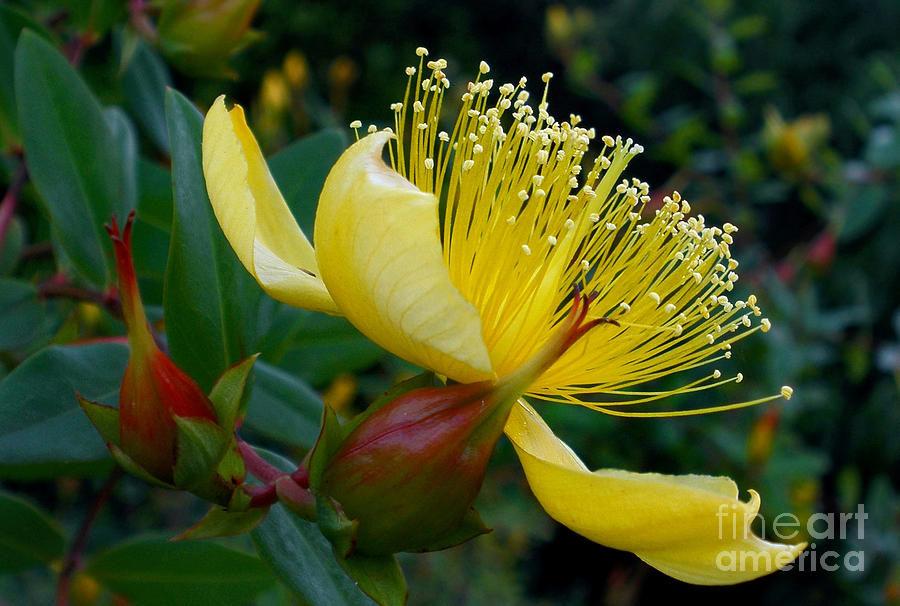 Yellow bush flower photograph by kaye menner flower photograph yellow bush flower by kaye menner mightylinksfo Images