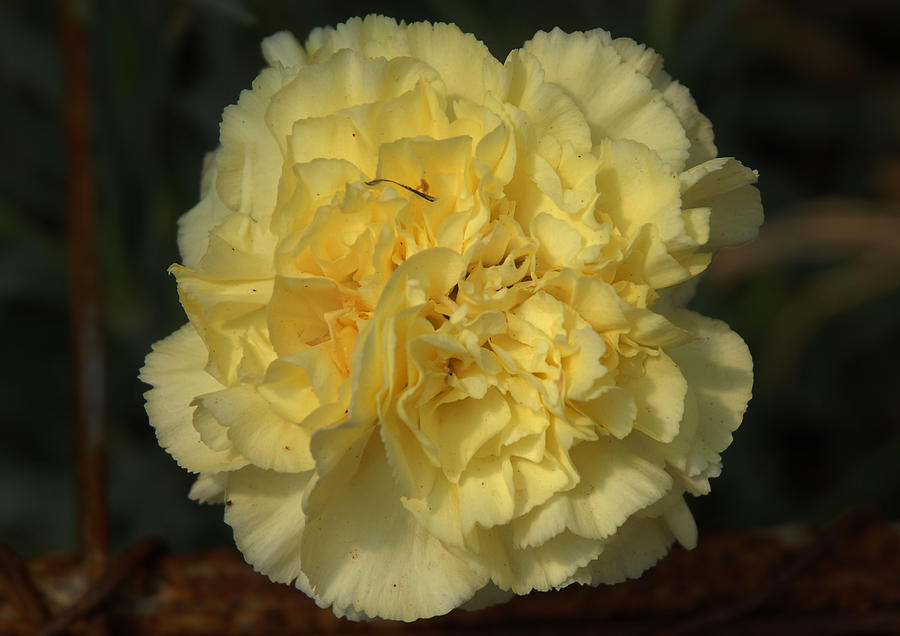 Yellow carnation flower photograph by johnson moya mightylinksfo