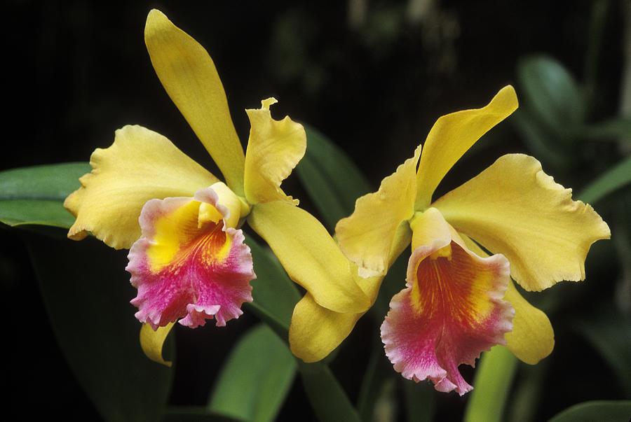 Yellow cattleya orchids photograph by greg vaughn for Orchidea cattleya