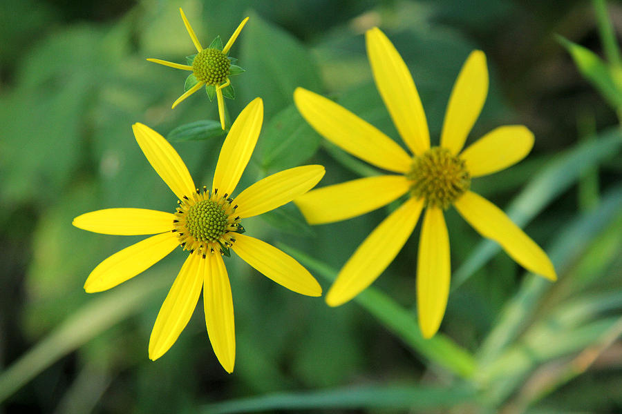 Yellow Coneflower Photograph - Yellow Coneflower by James Hammen