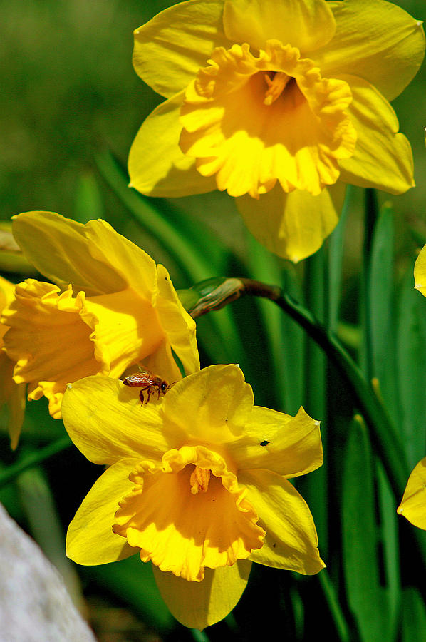 Beautiful Photograph - Yellow Daffodils And Honeybee by Kay Novy
