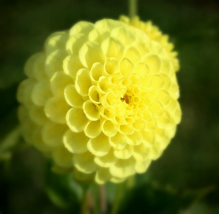Yellow Dahlia Photograph by Cathie Tyler