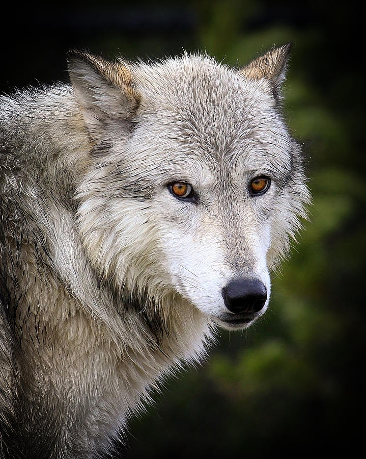 Yellow Eyes Photograph By Steve Mckinzie