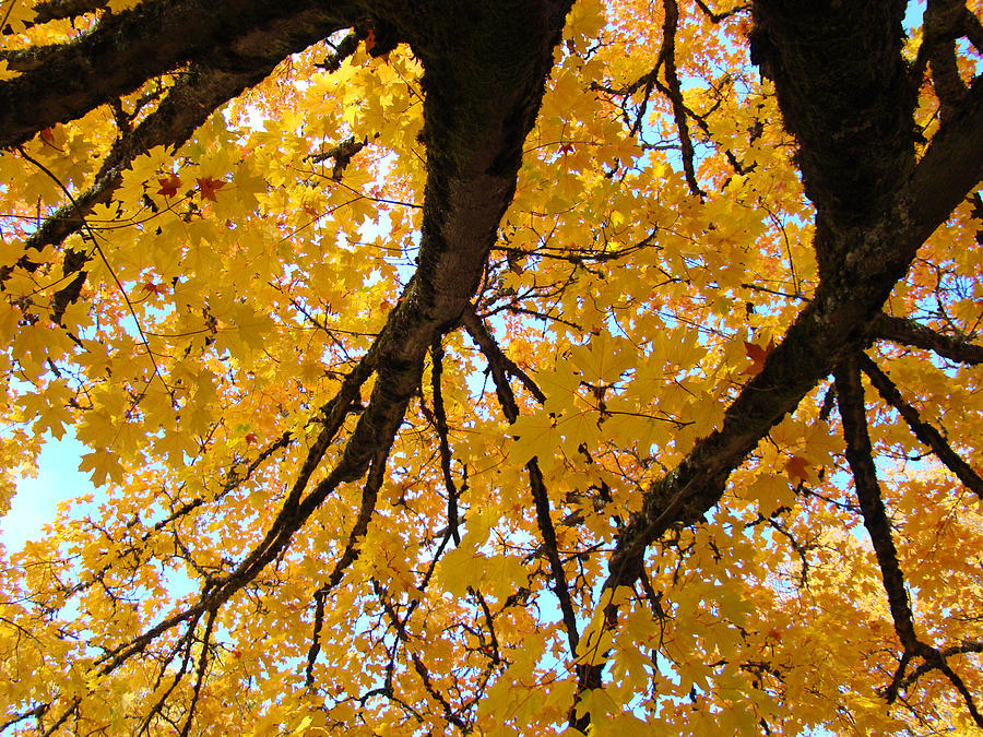 Autumn Photograph - Yellow Fall Trees Prints Autumn Leaves by Baslee Troutman