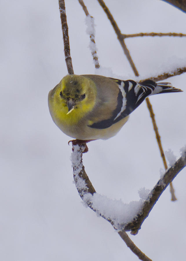 Usa Photograph - Yellow Finch Cold Snow by LeeAnn McLaneGoetz McLaneGoetzStudioLLCcom