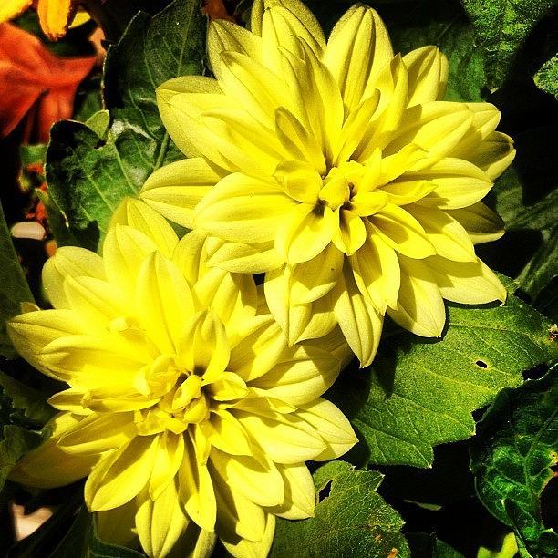 Beautiful Photograph - #yellow #flower #petals #closeup by Katie Williams