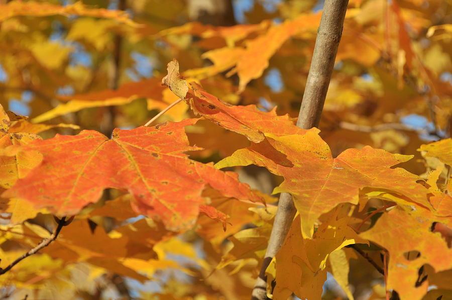 Leaves Photograph - Yellow Foliage  by Michael Jalbert