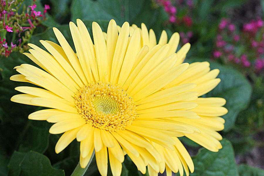 Becky Photograph - Yellow Gerbera by Becky Lodes