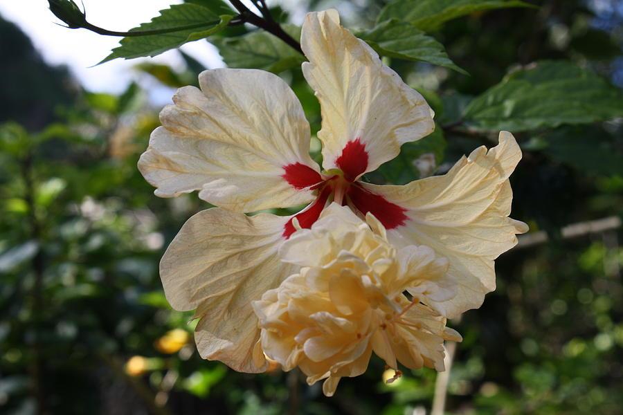 Flowers Photograph - Yellow Hibiscus  by Natalija Wortman