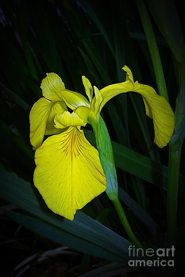 Yellow Photograph - Yellow Iris by Judi Bagwell