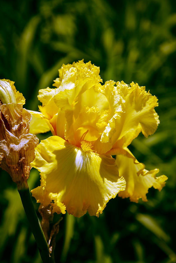 Abstract Photograph - Yellow Iris  by Kelly Rader