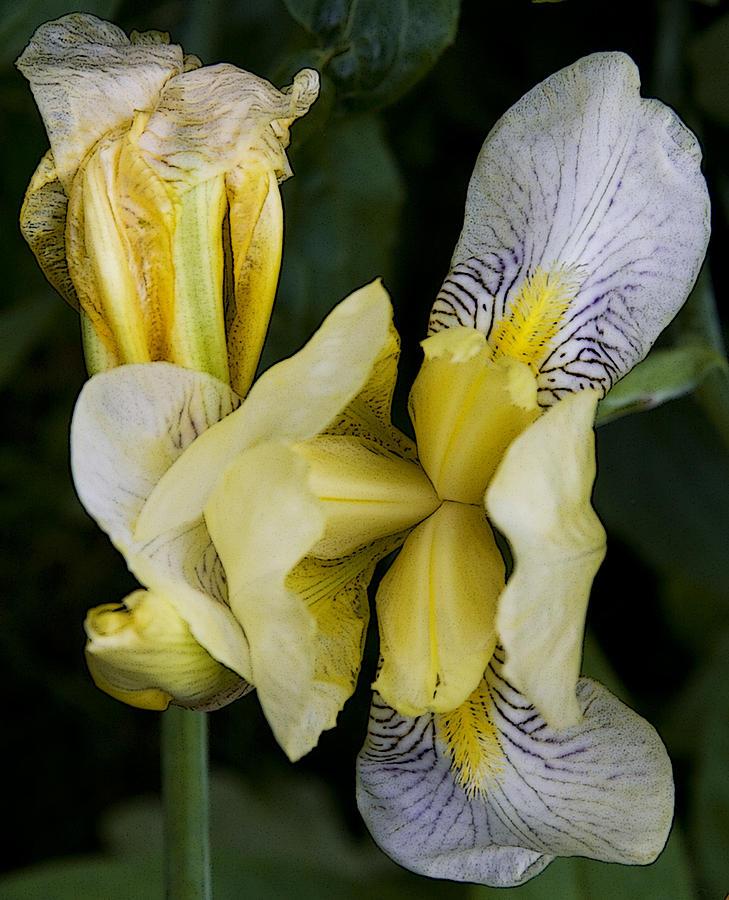 Nature Photograph - Yellow Iris by Michael Friedman