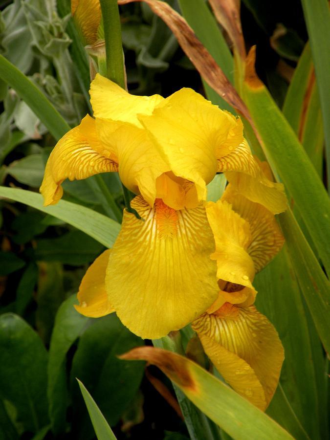 Flower Photograph - Yellow Iris Tasmania Australia by Sandra Sengstock-Miller