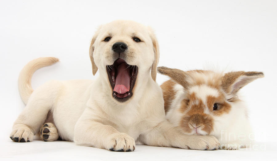 Nature Photograph - Yellow Lab Puppy With Rabbit by Mark Taylor