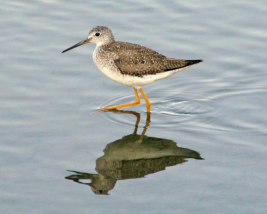 Bird Photograph - Yellow Leg Reflection by Paulette Thomas