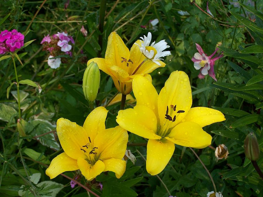 Yellow Lilies Photograph - Yellow Lilies by Susan Saver