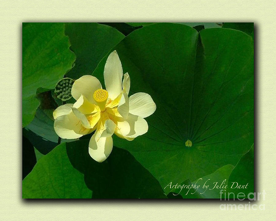 Flowers Photograph - Yellow Lotus Blossom In Mississippi  by Julie Dant
