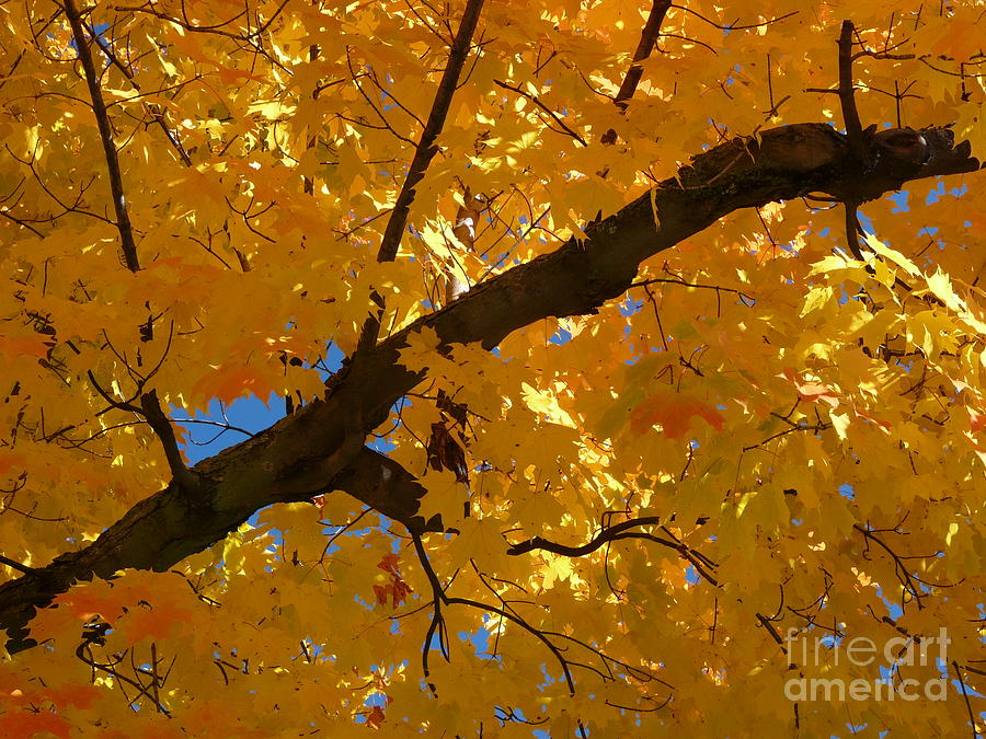 Maine Photograph - Yellow Maple Branch by Christine Stack