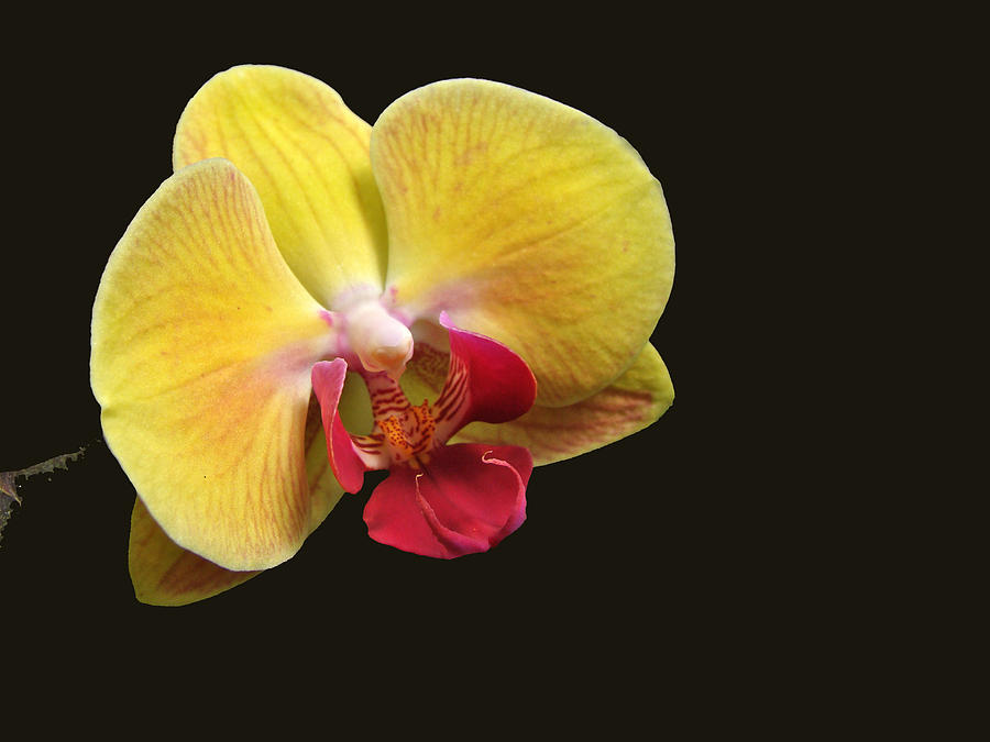 yellow moth orchid phalaenopsis photograph by mother nature