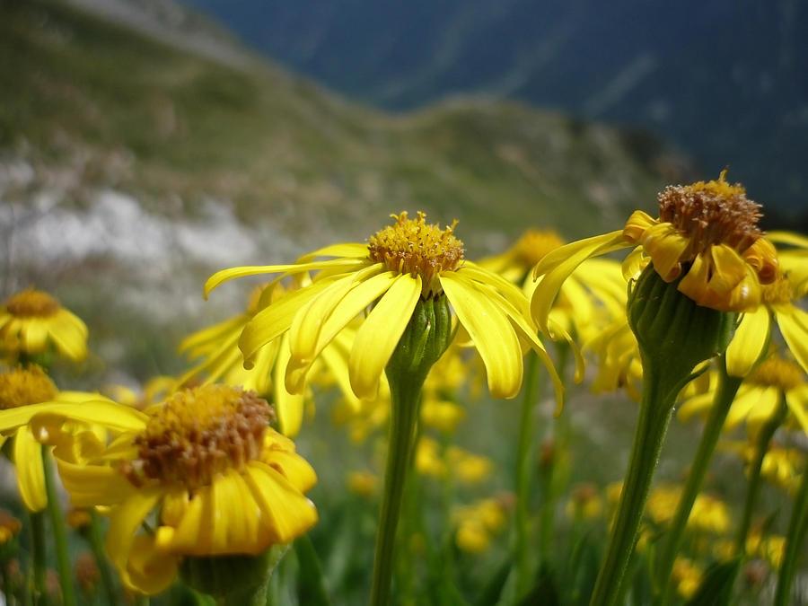 Mountain Photograph - Yellow Mountain Flowers by Martin Marinov
