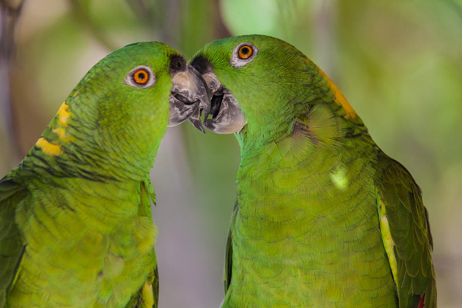 Bird Photograph - Yellow Naped Parrots Kissing by Craig Lapsley