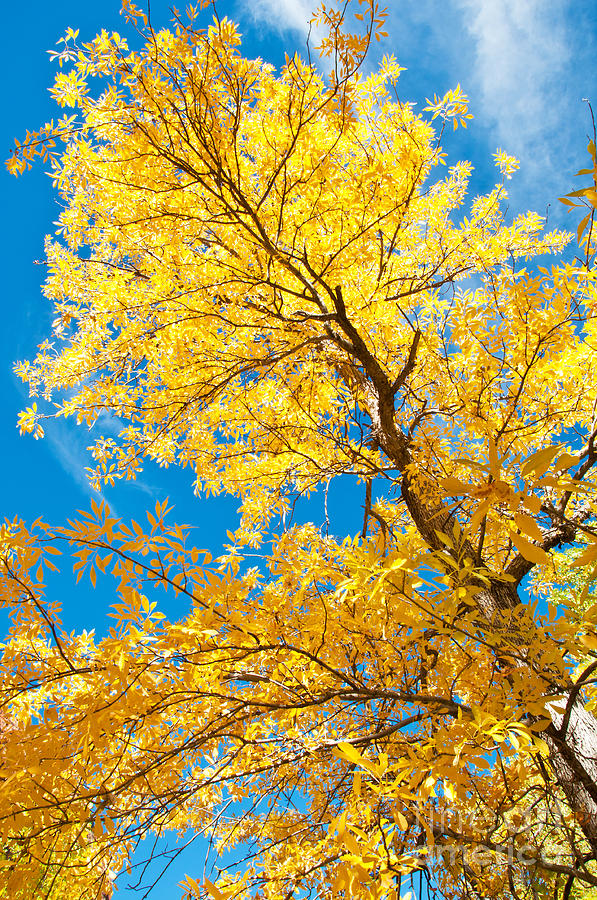 Autumn Photograph - Yellow On Blue by Bob and Nancy Kendrick
