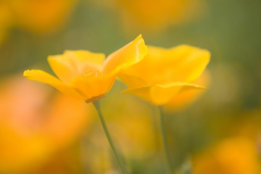 Yellow poppy flower mount hood photograph by craig tuttle cheerful photograph yellow poppy flower mount hood by craig tuttle mightylinksfo