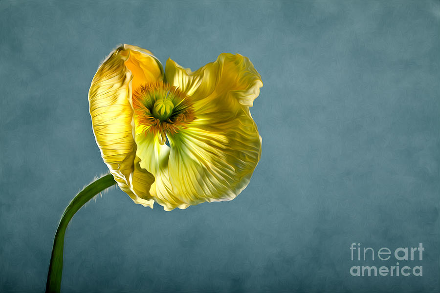 Poppy Photograph - Yellow Poppy by Nailia Schwarz
