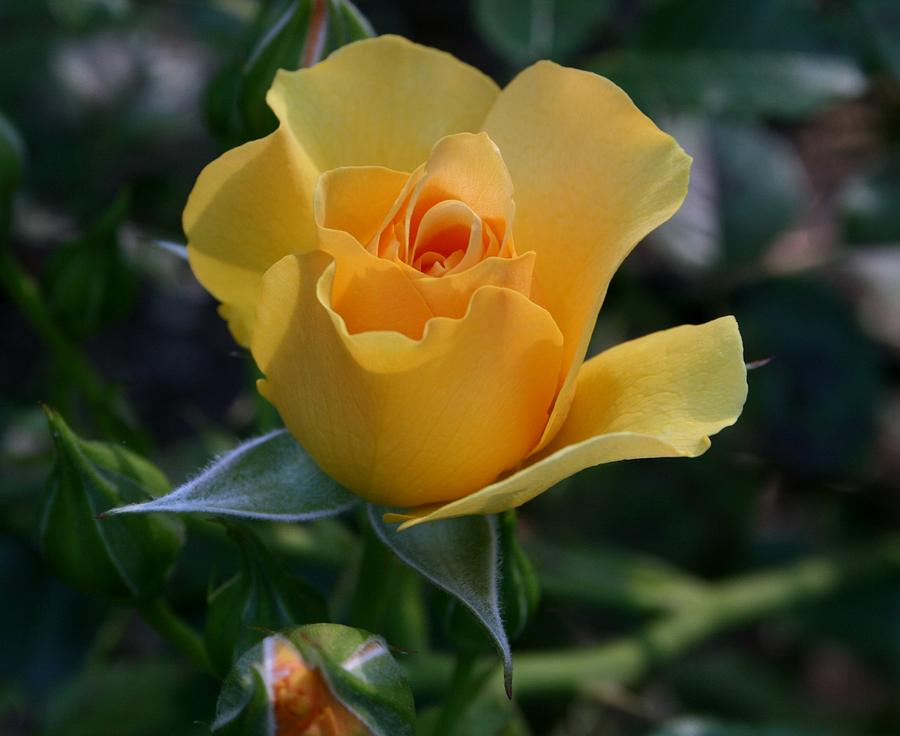 Roses Photograph - Yellow Queen by Valia Bradshaw