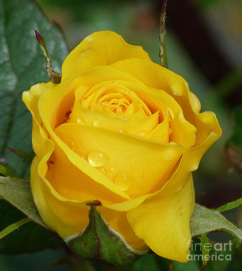 Yellow Rose After The Rain Photograph By Lynn Bolt