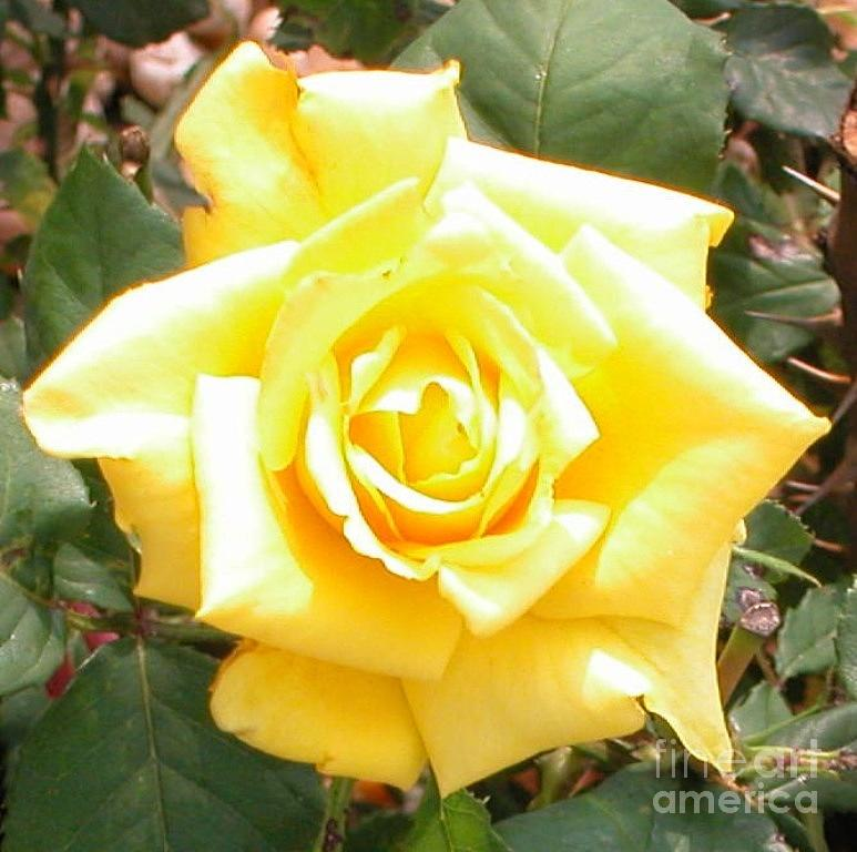 High Noon Photograph - Yellow Rose At High Noon by Alys Caviness-Gober