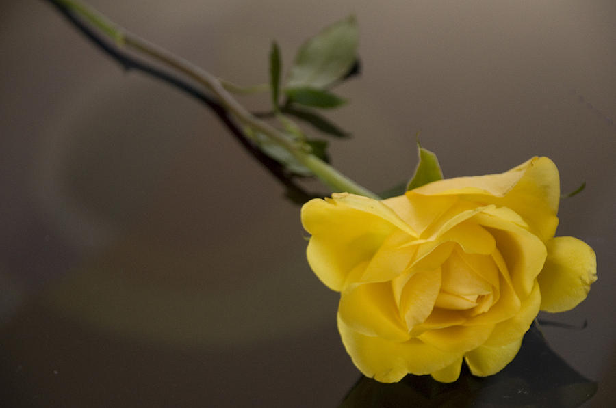 Yellow rose of friendship photograph by hd hasselbarth - Yellow rose images hd ...
