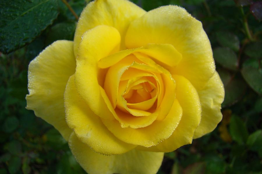 Yellow Rose Of Texas Photograph By Michael Macgregor