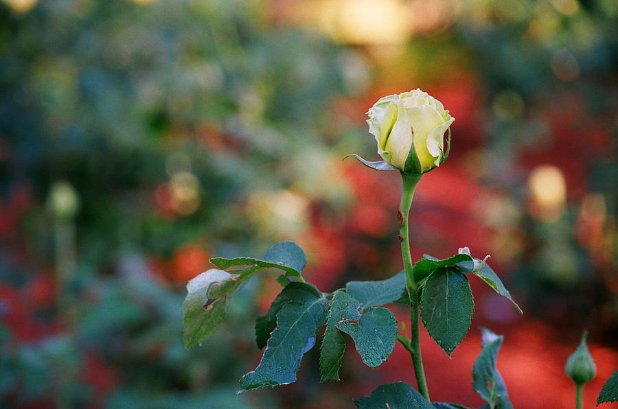 Floral Photograph - Yellow Rose by Timothy Turner