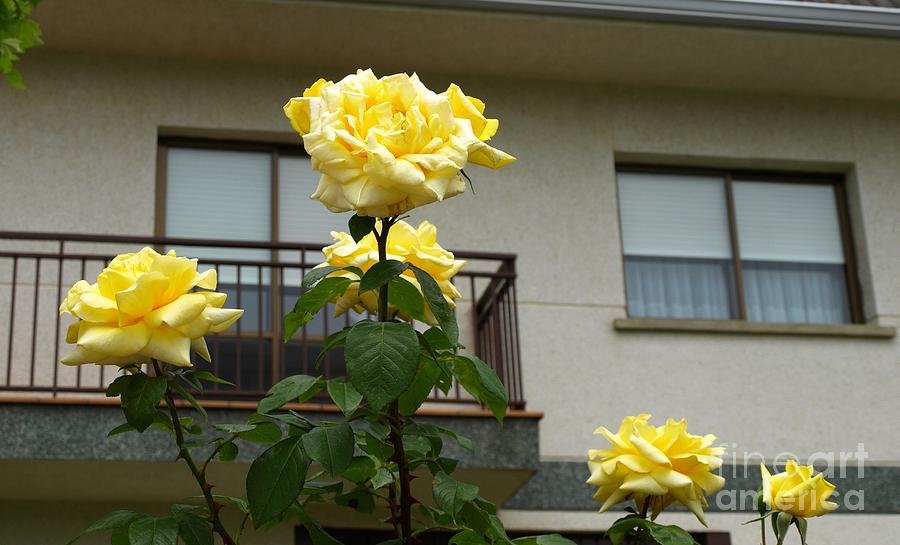 Yellow Photograph - Yellow Roses And House by Alfredo Rodriguez