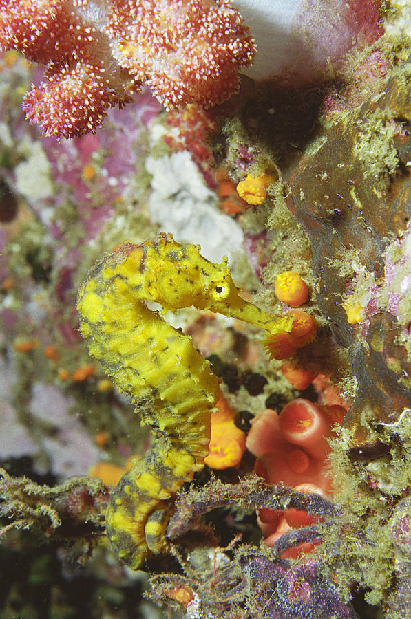 Hippocampus Histrix Photograph - Yellow Seahorse by Peter Scoones