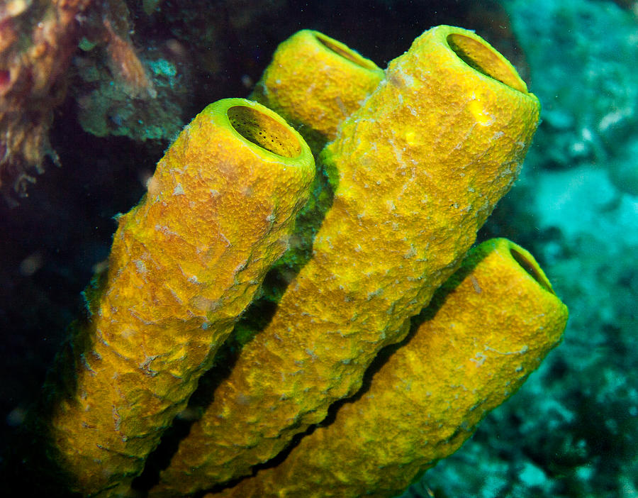 Yellow Sponges Photograph By Jean Noren