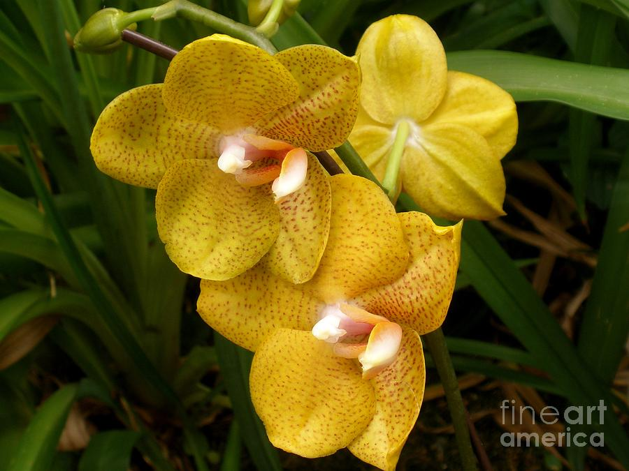 yellow spotted phalaenopsis orchid photograph by freda sbordoni