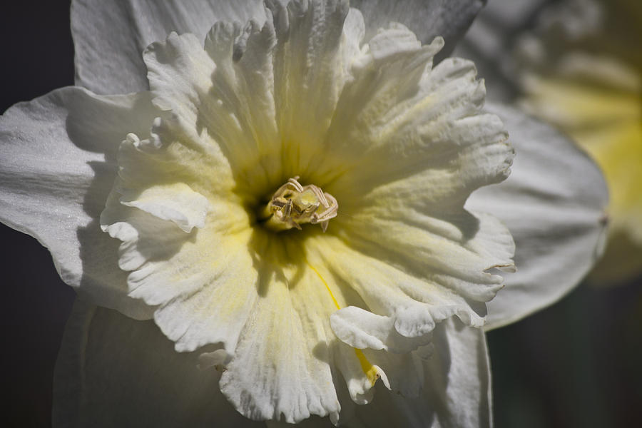 Daffodil Photograph - Yellow Stripe by Teresa Mucha