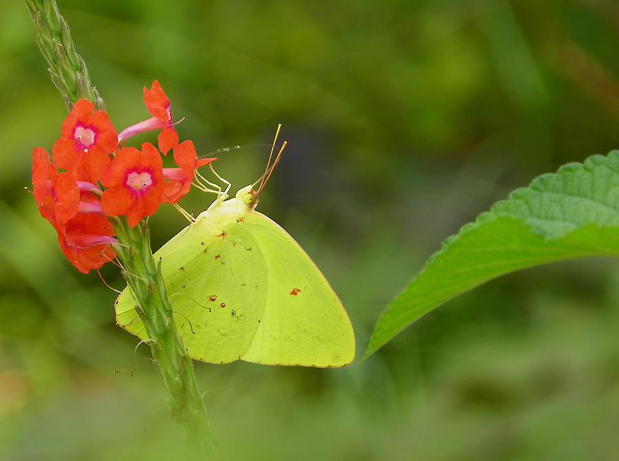 Nature Photograph - Yellow Sulfur Butterfly by Judy Wanamaker