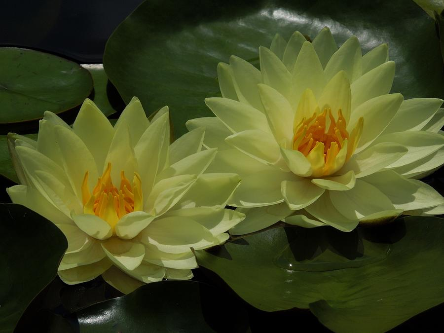 Yellow Water Lily Photograph - Yellow Water Lilies by Chad and Stacey Hall