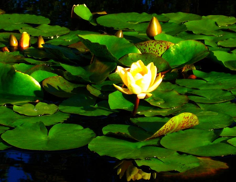 Yellow Water Lily by Sherry Oliver