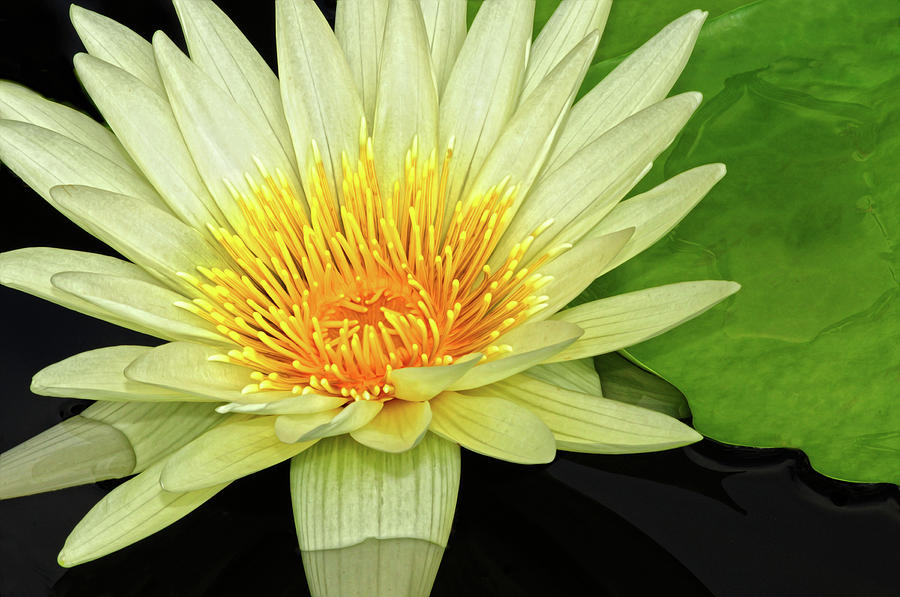 Waterlily Photograph - Yellow Waterlily by Dave Mills