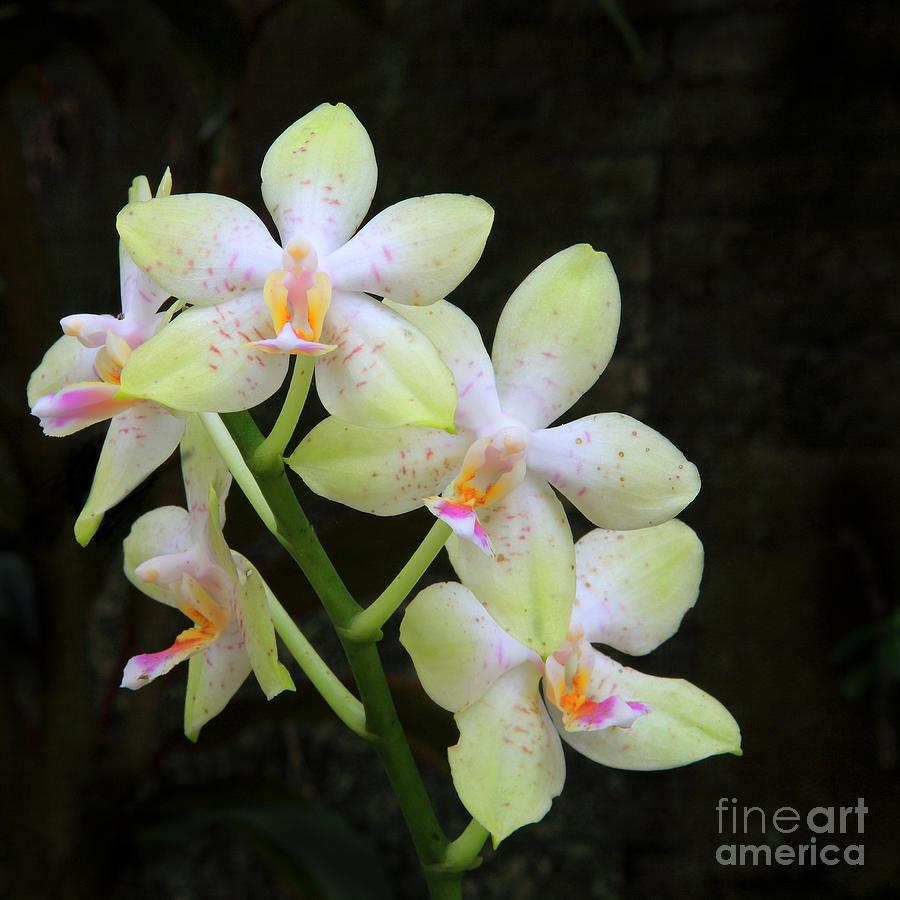 Yellow White Orchid Digital Art By Nicholas Burningham