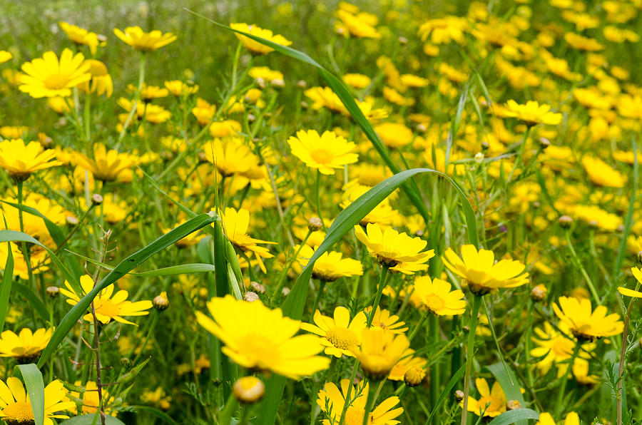 Yellow wildflowers photograph by michael goyberg background photograph yellow wildflowers by michael goyberg mightylinksfo
