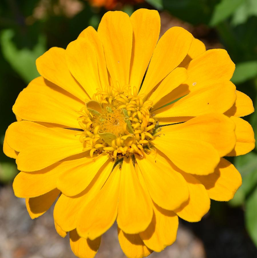 Yellow zinnia flower photograph by p s nature photograph yellow zinnia flower by p s mightylinksfo Choice Image